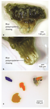 Fig. 2. Microplastics in the mouth (a) and mesentery (b) of coral polyps. Plastic fragments (c) from reef waters captured in plankton tows.