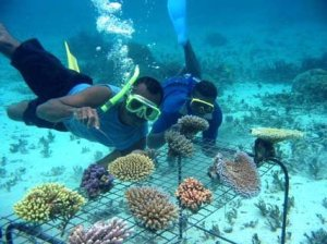 Figure 2: Coral gardening- pieces of coral are harvested off of healthy reefs and allowed to grow before being transplanted to a degraded reef habitat.