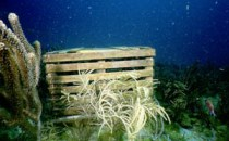 A ghost trap can still catch and ultimately kill spiny lobsters (Florida DEP).