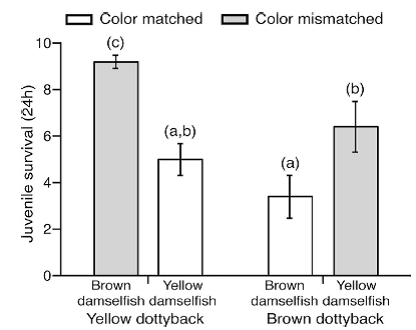 Figure 2 – survival rates of juvenile damselfish when mismatch colored dottybacks are present (grey bars) vs. when matching colored dottybacks are present (white bars).