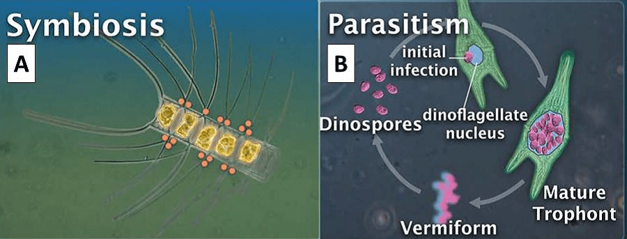 mutualistic symbiotic relationship involving protists and bacteria