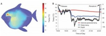 Figure 4: A) The internal temperature of the opah at an ambient temperature of 10.5°CThe internal temperature of the opah is higher than the surrounding environment (ambient temperature of 10.5°C). Temperatures are warmest around the brain (red area), gills, and pectoral fin (directly behind the red area- yellow to light blue in color) B) In situ measurements of body temperature at depth. Note the very stable internal temperature of the opah, even though there is a significant drop in water temperature.