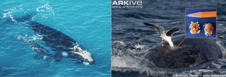 Figure 1: Main players – mother whale and her calf | example of gull predation, inset: cyamid