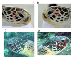 Figure 4: A&B show photos of the same turtle with high similarity on either facial side, C&D show the same turtle with low similarity on either facial side