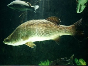 Figure 2 – A barramundi is an Asian seabass that uses estuaries as nursery grounds.