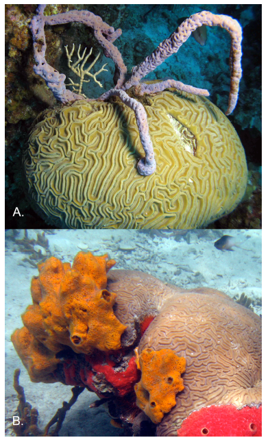 Fig. 3. Two examples of corals being overgrown by sponges. Photos taken by Joseph Pawlik (A) and Tse-Lynn Loh (B).