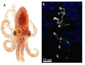 Figure 4: A)Octopus bimaculatus. Skin from the region within the yellow box is shown magnified in B. B) Antibody staining of the skin reveals that r-opsin (white) is expressed in the skin cells.