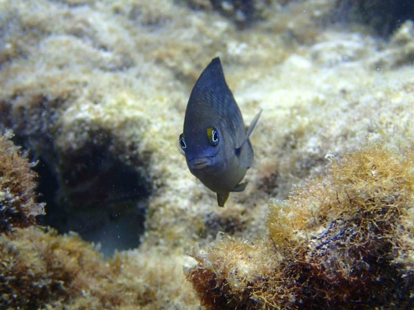Figure 1: The three-spot damselfish (Stegastes planifrons).  Photo Credit: Rebecca Flynn (yours truly!), British Virgin Islands August 2014. Please request permission before copying or otherwise distributing this photo.