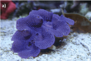 Figure 1 - Giant Clam