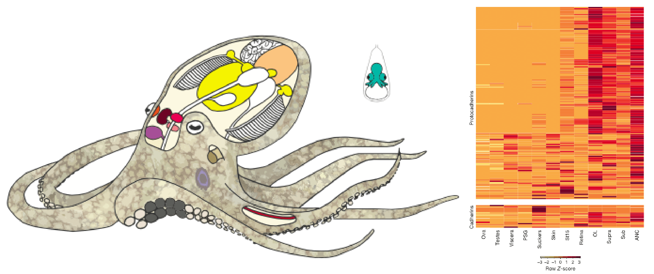 Philosopher cephalopod the octopus genome reveals the origin of on the origin of octopus wisdom a diagram showing the different parts of the adult pooptronica