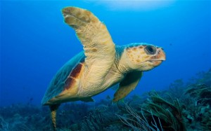 Fig. 2: A loggerhead turtle (Caretta caretta) (telegraph.co.uk).