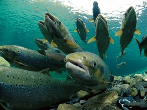 Atlantic salmon spawning. Credit: Paul Nicklen; Source: http://photography.nationalgeographic.com/wallpaper/photography/photos/schools-fish/spawning-atlantic-salmon-nicklen/