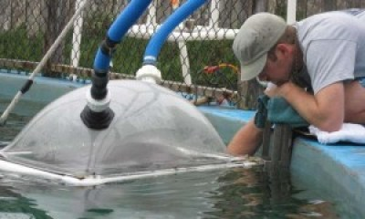 This study relied on a pair of trained bottlenose dolphins from USSC's Long Island Marine Laboratory. The metabolic hood, where dolphins surfaced to allow measurement of oxygen consumption rate, is shown. Photo credit: Dawn Noren/NOAA Fisheries