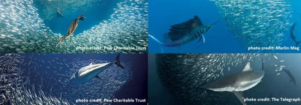 Figure 1 – Clockwise from top left: seabirds, sailfish, sharks, and tuna feeding on large schools of forage fish.