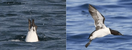 Figure 1 – Thick billed murre diving