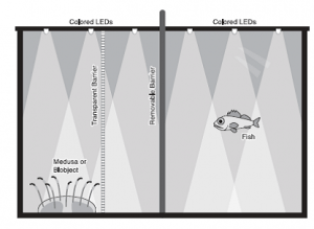 "Figure 4: The experimental set up. A fish is placed in the tank with either a real jellyfish (or ""medusa""), a fake jellyfish (or ""blobject""), or an empty tank- separated by a transparent barrier."