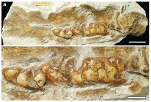 Fig. 2. The calcified (bony) lung of a Cretaceous coelacanth (Macropoma mantelli), found in 1843. (a) The right side of the fish, with the tail fins (left) and head (right) visible. The large, bony lung occupies much of the belly area. (b) A detailed view of the bony plates surrounding the lung. Scale bars: 5 cm (top) and 2.5 cm (bottom). Adapted from Cupello et al., 2015 (supplementary material).