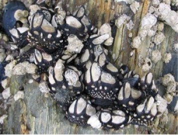 Figure 3 – American slipper limpets (white shells) growing on top of these mussels (black shells).