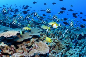 Fig. 1: Tropical marine species are are already up against their thermal limit, can they really handle another couple of degrees? (Photo: fishreef.org)