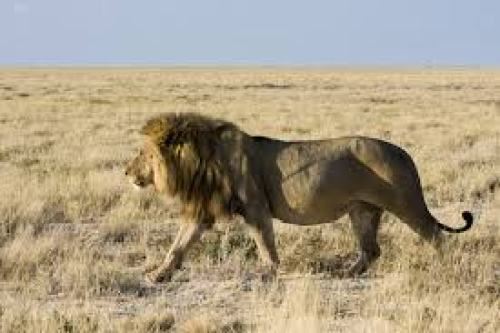 Figure 5: A male African lion