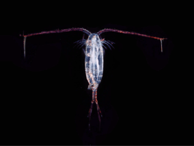 Figure 4 – Example of a copepod, one of the major components of the deep sea food web. (Source: Wikimedia Commons)