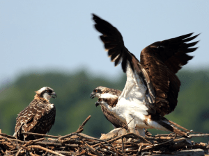 Picture 2: An osprey nesting pair and their offspring.