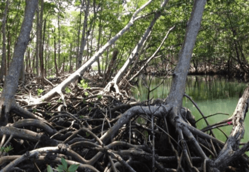 Figure 4 - Aquatic and terrestrial ecosystems meet in this mangrove tree forest in Florida where the study was conducted. Image from Figure 1 of Yeager et al. 2016, used with permission.
