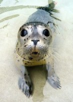 Figure 1: Harbor Seal with lots of whiskers. Source: https://commons.wikimedia.org/wiki/File:Kiotari_at_the_MMC_by_Aaron_J_Cohen.JPG