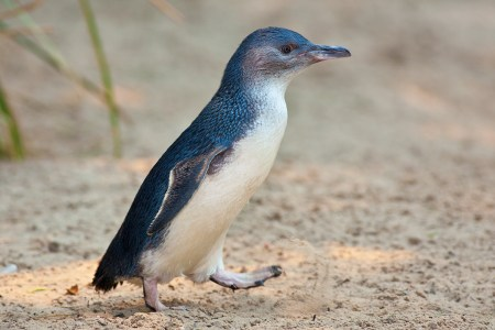 Little penguin at the Melbourne Zoo. https://commons.wikimedia.org/w/index.php?curid=18007768