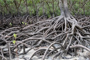 Figure 2: intricate root system https-//pixabay.com/en/mangrove-philippines-trees-nature-1227352/