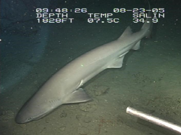 Bluntnose six gill shark, at a depth of 1828 ft (557 m), and a temperature of 7.5 degrees Celsius. These fish can reach 5 m (16 ft) in length and is one of the most widely studied deep sea sharks. [Wikimedia Commons]