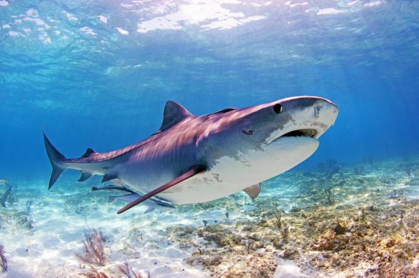 """Pregnant """"Jamin"""" Tiger Shark at Tiger Beach, Bahamas (photo by Jamin Martinelli, Shark Researcher, Dive Master, and Field Contributor to this research project)"""