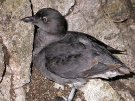 Cassin's Auklet carcasses were identified and counted by citizen scientists along the US west coast. Credit: Wikipedia.