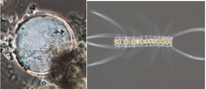 Single-celled diatom (left) and chain-forming diatom colony (right). Note, photos are not to scale- the colony is actually much larger than the single cell. Photo credits Austin Grubb.