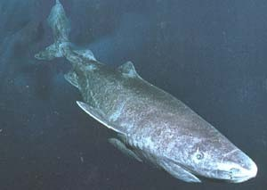 The Greenland shark has recently be recognized as the longest-lived vertebrate on Earth [Flickr].