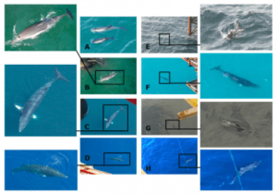 Figure 2: Photographic evidence of mammals around oilrigs (Taken from Todd et al. (2016) Figure 11.)