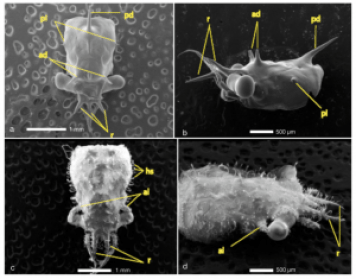 Fig. 7: Panels A and B show the carapace of a megalopa, where no hooked setae are present. In contrast, panels C and D show a juvenile carapace covered in hooked setae.
