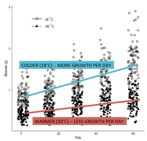 Figure 1 – Growth of seahorses in grams per day at the two different temperatures. Seahorses in colder water grew more per day than those in warmer water. Source: Mascaró et al. 2016.