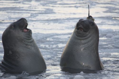 A pair of elelphant seals, one with a satellite tag glued to its head that measures temperature, salinity, and depth. (http://www.antarctica.gov.au/)