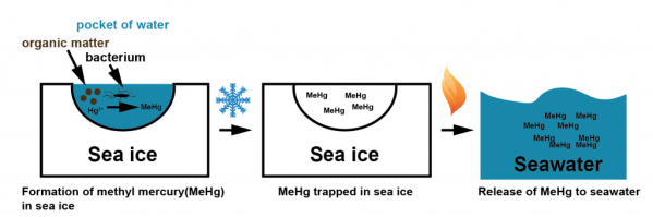How methyl mercury might come to be in sea ice and thereafter. Local pockets of water in sea ice consisting of soup of organic matter, bacteria, and ionized mercury could provide the microcosms leading to the formation of methyl mercury. When the ice freezes over the methyl mercury is trapped, but when it melts it can be released into the surrounding seawater.