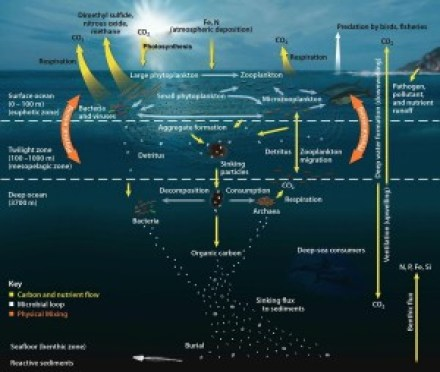 Figure 1. Chemical cycling in the ocean is a delicate balance between many different types of organisms. (source: constantinealexander.net)