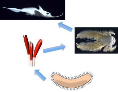 Figure 2: Example of a hydrothermal vent food web. Chemosynthetic bacteria feeds symbiotic partners like tubeworms, tubeworms feed predators like yeti crabs, yeti crabs feed higher predators like chimera fish.