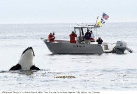 The Northern and Southern residents (pictured) off the west coast of North America are the most-well studied killer whale populations in the world. [NOAA]