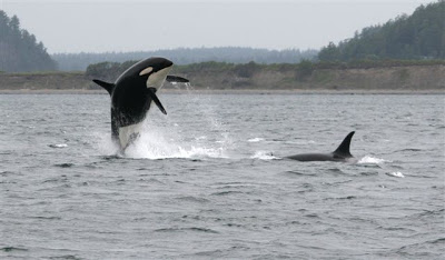 "Granny (breaching, officially named ""J2"") was the long-time matriarch of the J pod of the northern resident killer whale population. She disappeared in late 2016, and was thought to be over 100 years old. Her last known calf, Ruffles (""J1"") was born in the 1950s and was last seen in 2010. [Prince of Whales blog]"