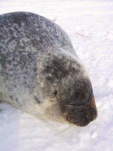 Fig. 5 Who can resist that face? Ringed Seal. Author: Lee Cooper, Source: Wikimedia Commons. https://commons.wikimedia.org/wiki/File:Ringedsealportrait.jpg
