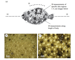 Figure 2: Spectral measurements. a.) Overview of where along the body and around the substrate that specral measurements were taken; b.) body image of flounder on sand substrate; c.) body image of flounder on gravel and rocks. Specific measured chromatophores are circled and numbered 1-4. Taken from Fig. 1, Akkaynak et al. (2017).