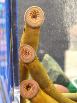 Sea Lampreys Grow Faster Grow Male Oceanbites