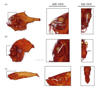 Trois images de poissons dans Davis et al. étude. Les flèches indiquent la direction de la lumière des photophores, se déplaçant vers les yeux du poisson.