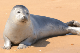 A light gray harbor seal lies on its side facing the camera on a sandy beach.