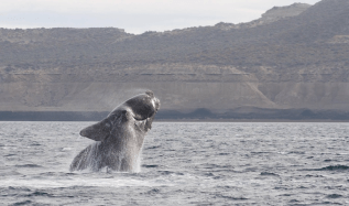 High cliffs are behind a large whale splashing as it leaps out of the water. The whale is dark in color, is bulky, has rectangular flippers, no dorsal fin, and rough callosities on its face.